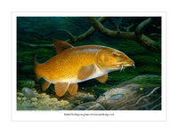 Barbel fishing print by M J Pledger