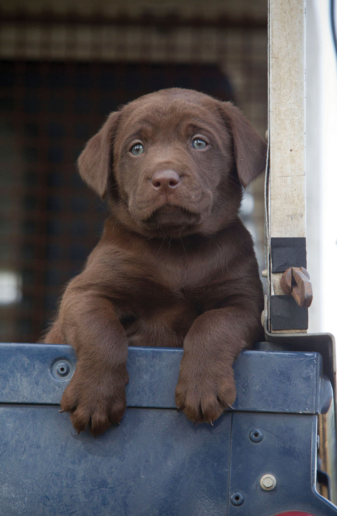 chocolate labrador puppy in Land Rover