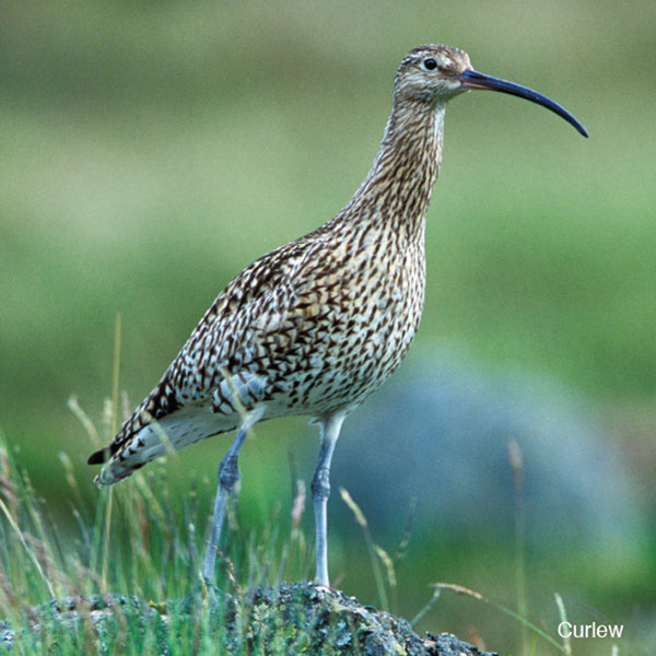 Curlew Audio Sound Greeting Card
