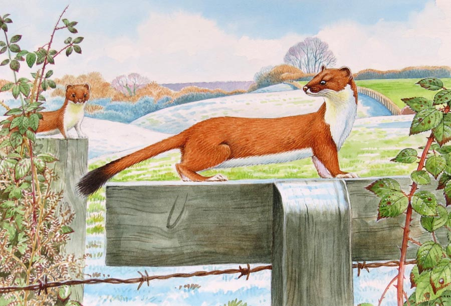 Stoat wildlife, nature, greeting card by David Thelwell