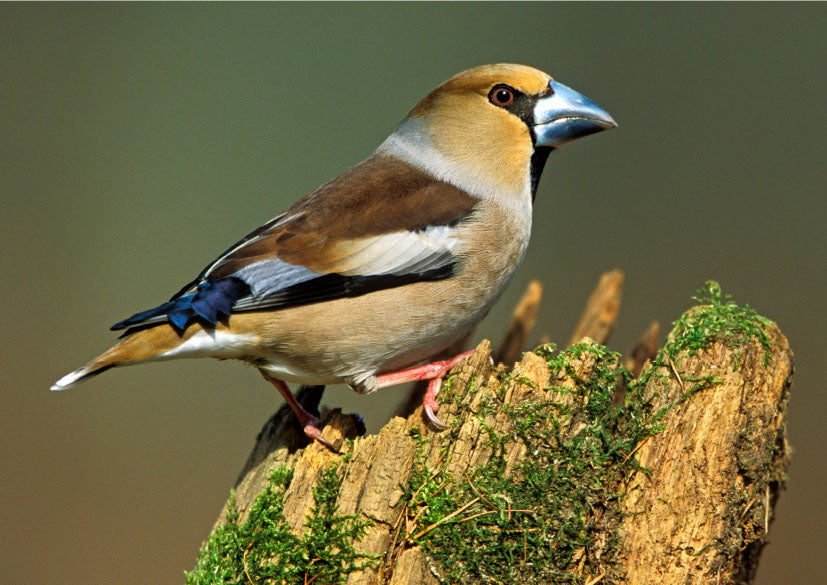 Hawfinch wildlife, bird greeting card by David Kjaer