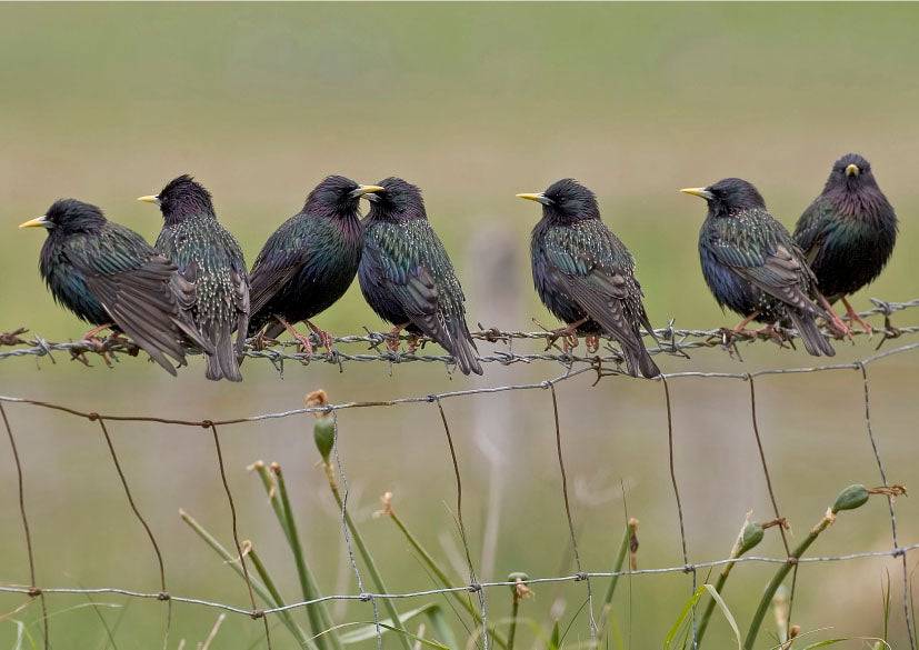 Starlings wildlife, bird greeting card by David Kjaer