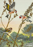 Bird greeting card. Goldfinches on Evening Primrose Seeds by Dick Twinney