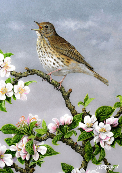 Bird greeting card. Song Thrush and Apple Blossom by Dick Twinney