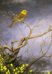 Bird greeting card. Yellowhammer and Gorse by Dick Twinney