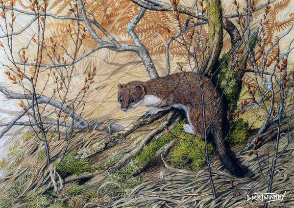 Wildlife greeting card. Stoat by Dick Twinney
