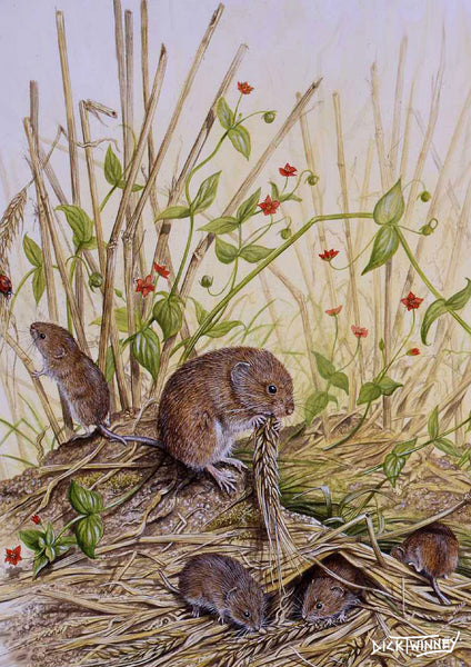 Wildlife greeting card. Field Vole by Dick Twinney