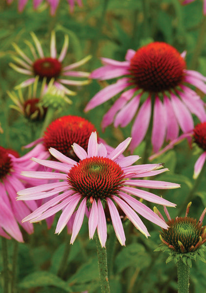 """Echinacea"" Wildlife Greeting Card by Charles Sainsbury-Plaice"