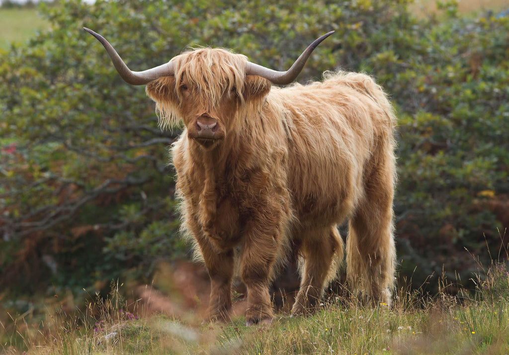 Highland Cow Greeting Card by Charles Sainsbury-Plaice