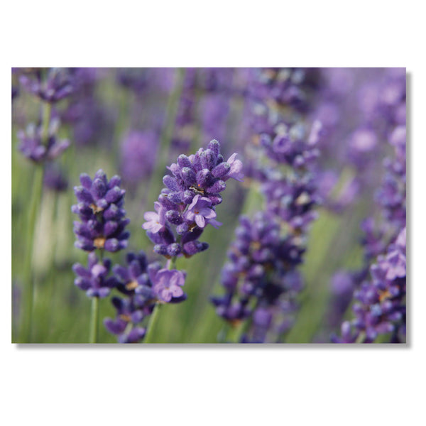Garden Greeting Card. Lavender by Charles Sainsbury-Plaice
