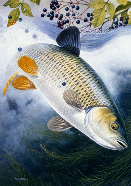 Chub freshwater fish greeting card by M J Pledger