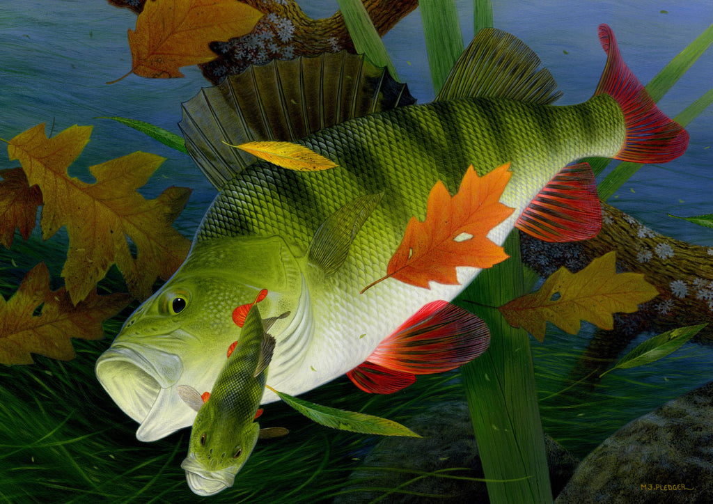 Perch freshwater fish greeting card