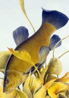 Tench freshwater fish greeting card by M J Pledger