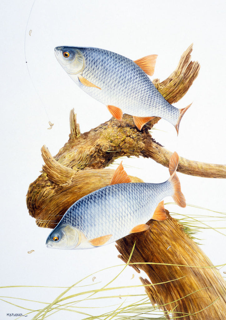 Roach freshwater fish greeting card