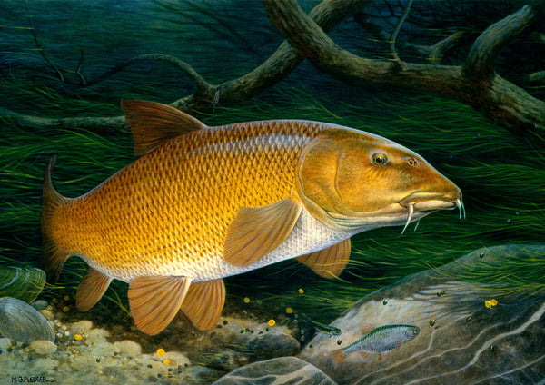 Barbel freshwater fish greeting card by M J Pledger