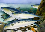Mackerel saltwater fish greeting card by M J Pledger
