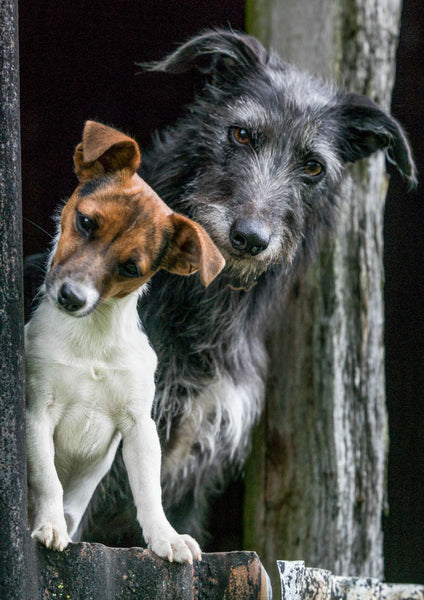 Lurcher and Jack Russell blank greeting card. Peanut and Rabbit