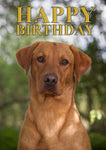 Fox Red Labrador Birthday Card by Charles Sainsbury-Plaice