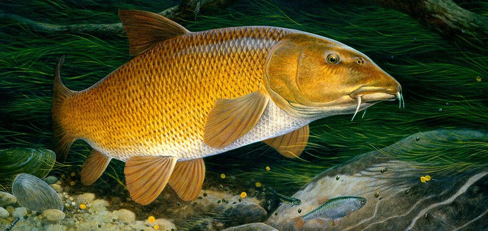 Barbel by Maurice Pledger