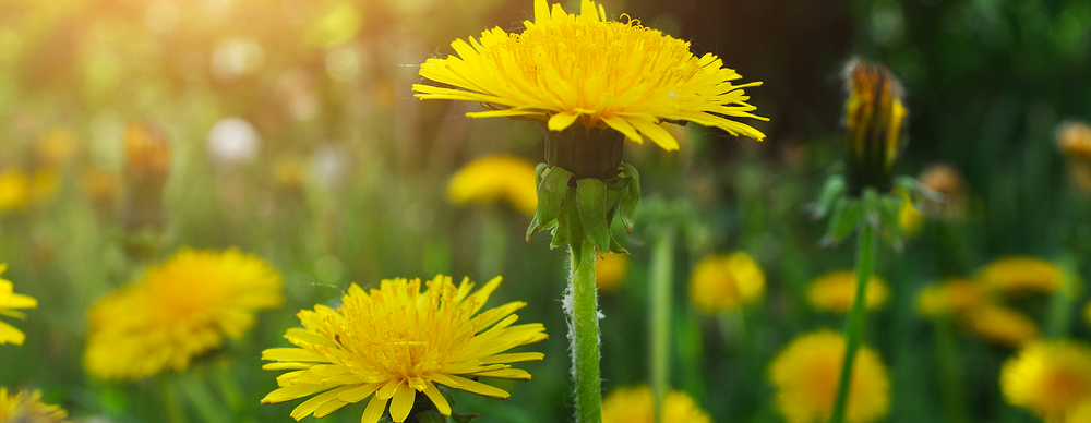 Dandelion: Much More Than a Pesky Weed!