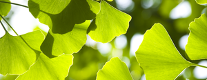 Ginkgo Biloba: A Plant That Cannot Be Destroyed.
