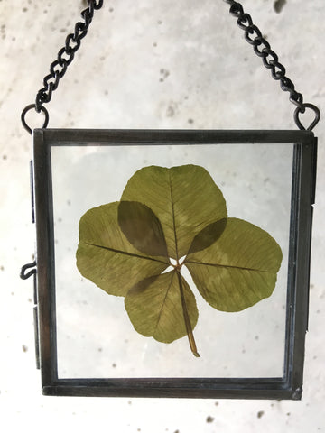 4-leaf Clover in Glass Display