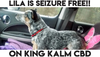 LILA the Blue Heeler is seizure Free after her mom gave her KING KALM CBD