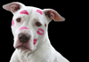 Rescue Dog Pit Bull with lipstick kisses all over his face