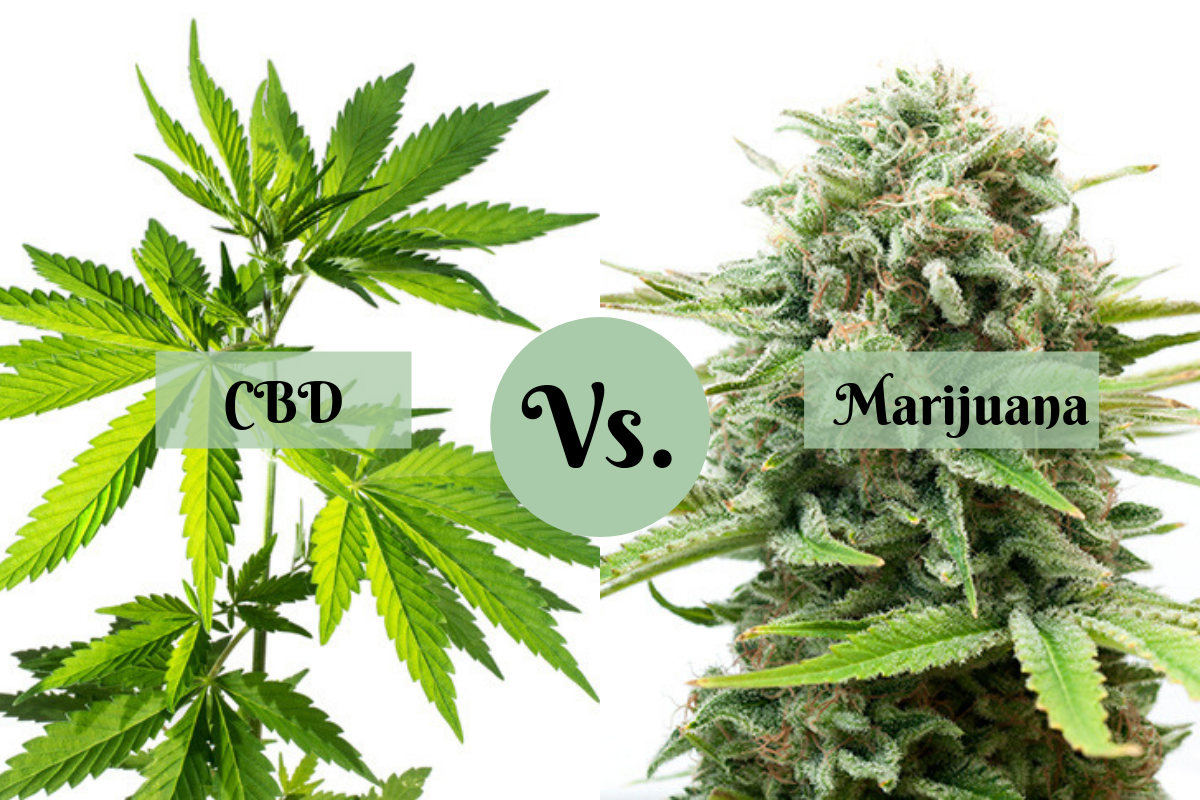 CBD vs. Marijuana