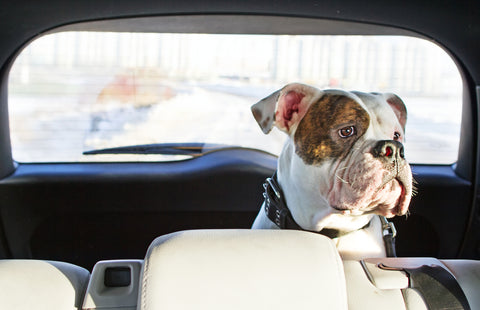 How to Travel With a Dog in the Car - Taking a Road Trip With Pets