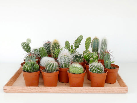 Cactus Mini - Back in stock soon