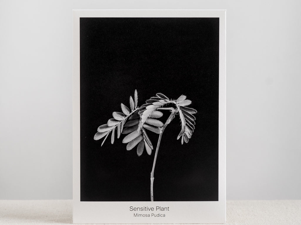 Sensitive Plant Seed Packet