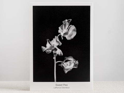 Seed Packet - Sweet Pea