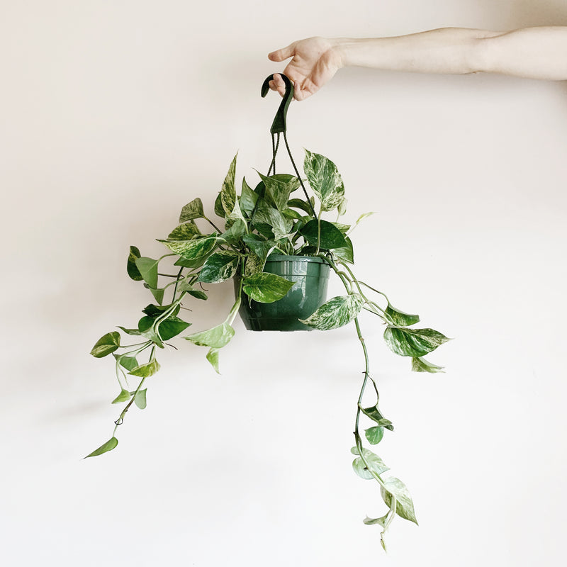 Marble Snow Queen Pothos 8'' Hanging Basket