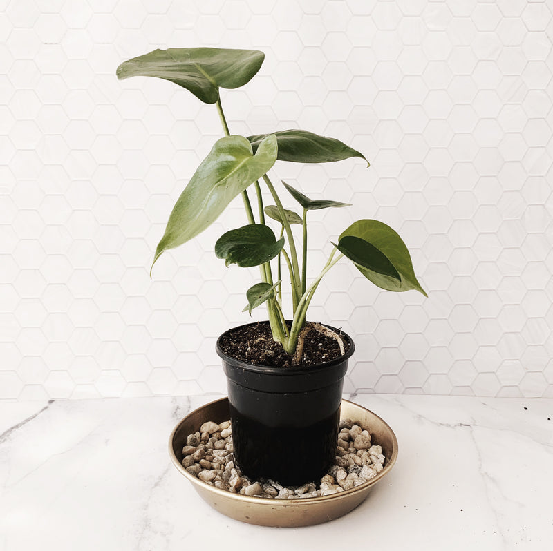 Monstera Deliciosa Philodendron 4'' | 5''