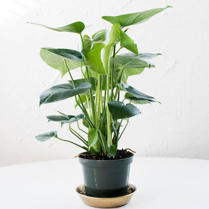 Monstera Deliciosa Philodendron 6''