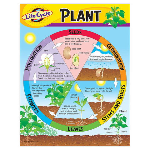CHART LIFE CYCLE OF A PLANT K-3