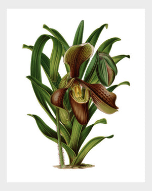 Cypripedium Orchid Vintage French Botanical Floral Flower Print Digital Download