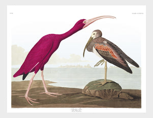 Scarlet Ibis Digital Download