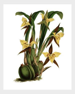 Brown & Yellow Orchid Vintage French Botanical Print Digital Download