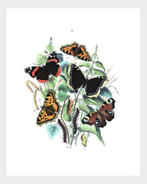 Vintage British Butterfly Fauna Print Digital Download