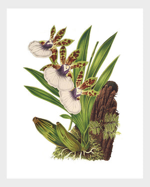 Tiger Orchid Vintage French Botanical Print Digital Download