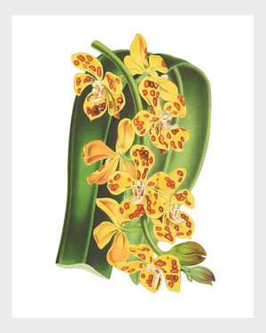 Vanda Yellow Orchid Vintage French Botanical Print Digital Download