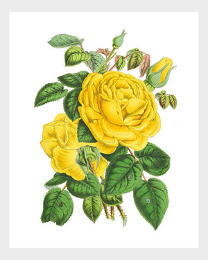 Yellow Roses Vintage French Botanical Print Floral Flower Flora Digital Download