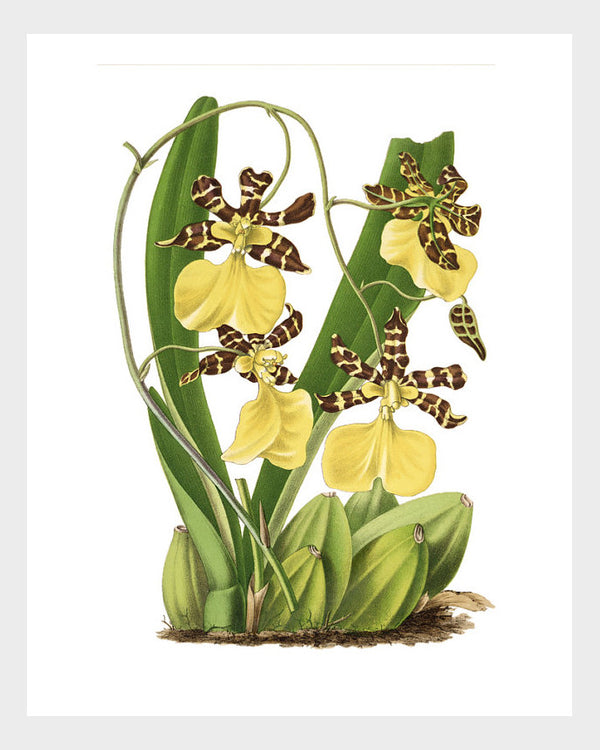 Yellow Tiger Orchid Vintage French Botanical Floral Flower Flora Print Digital Download