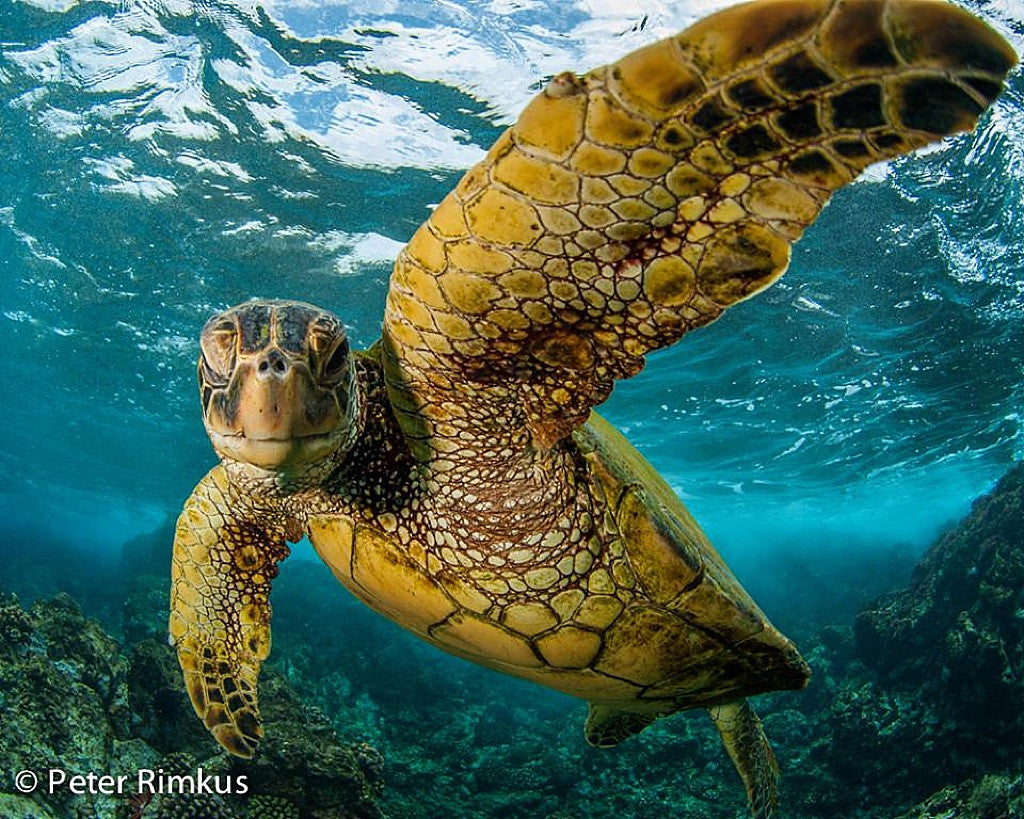 peter rimkus turtle town photography