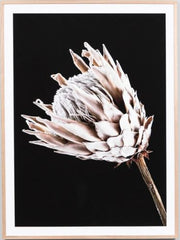 Dusty pink Protea framed print- LOCAL CLICK AND COLLECT ONLY