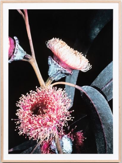 Eucalyptus bunch framed print