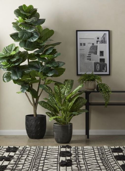 Giant Fiddle Leaf plant LOCAL CLICK AND COLLECT ONLY