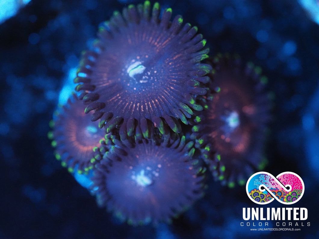 WWC Superstar Zoas